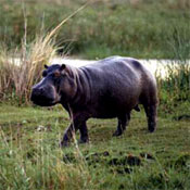 http://images.neopets.com/games/animalplanet/hippo.jpg