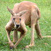 http://images.neopets.com/games/animalplanet/wallaby.jpg